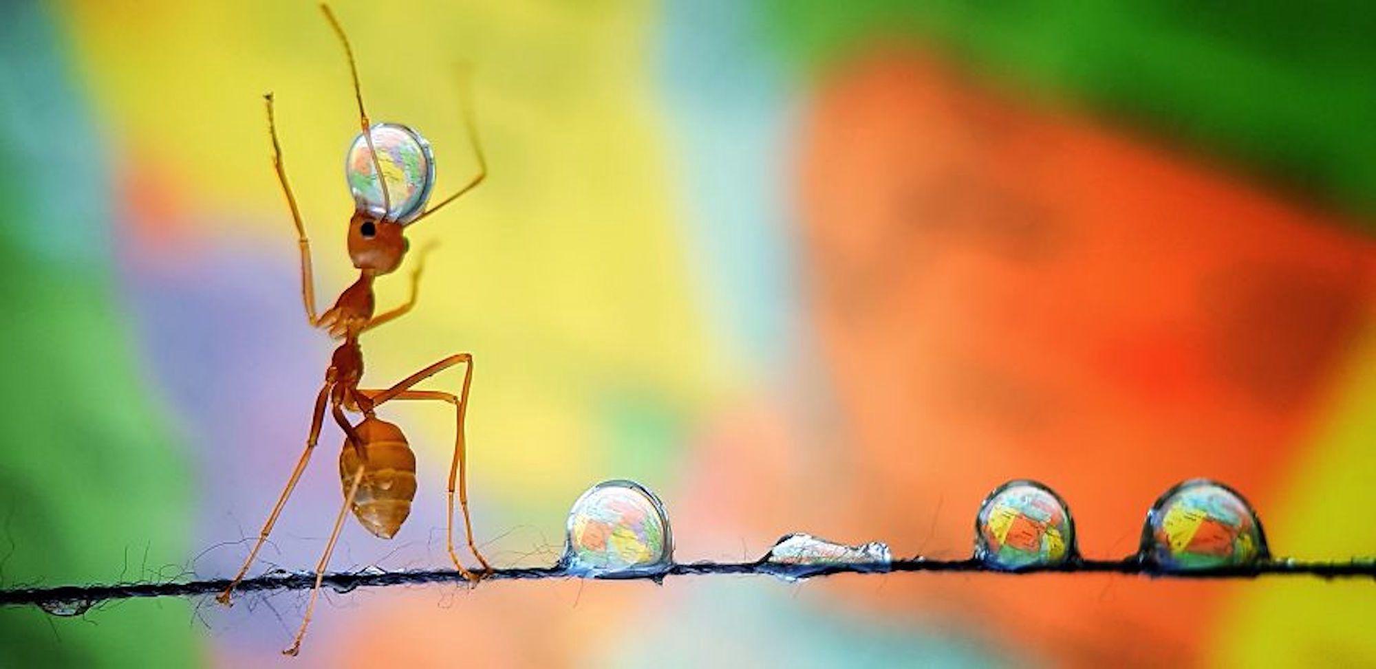 Formiga carregando gotas de água espalhadas em um fio