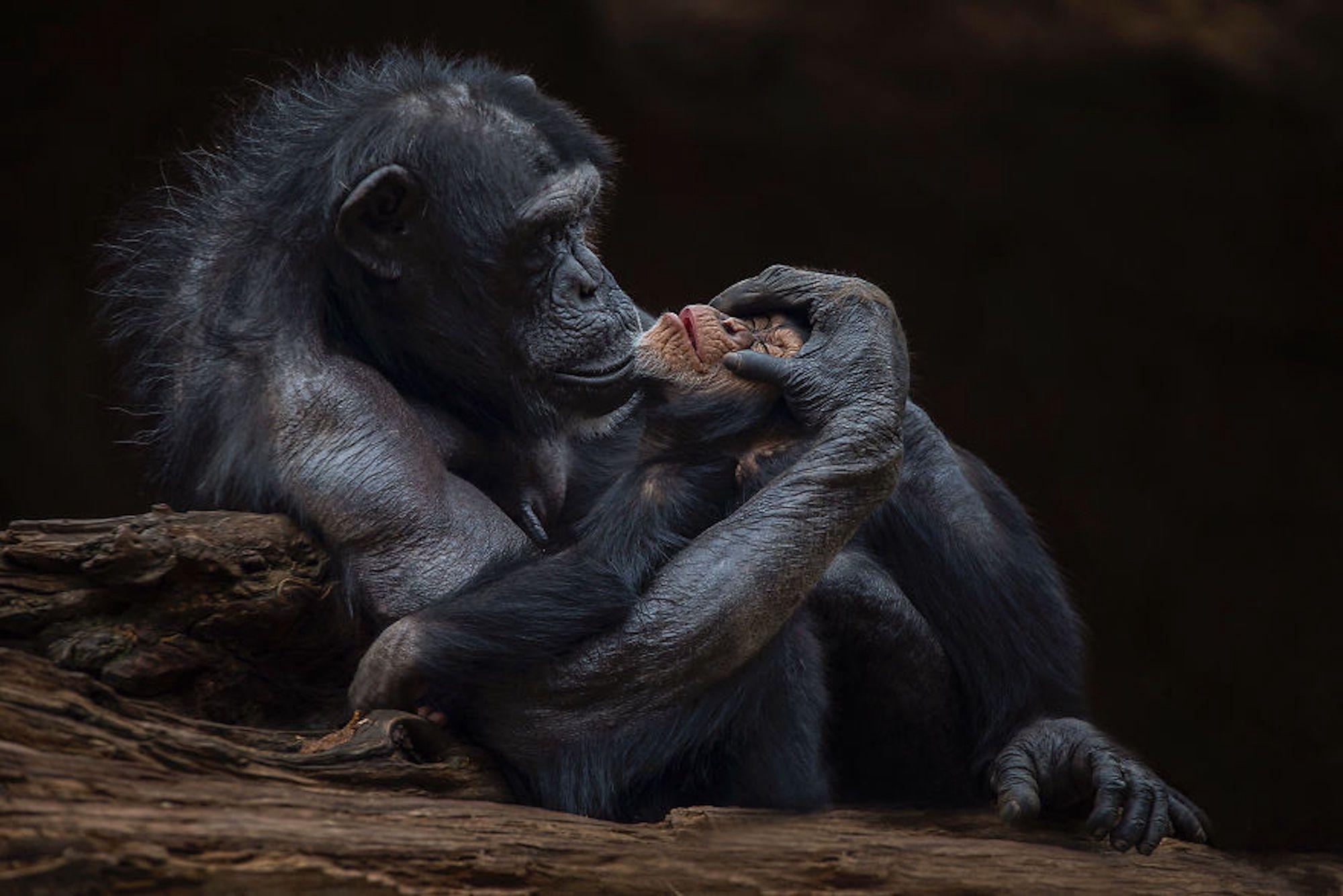 Momento de ternura entre um chimpanzé e seu bebê no zoológico de Tenerife, na Espanha