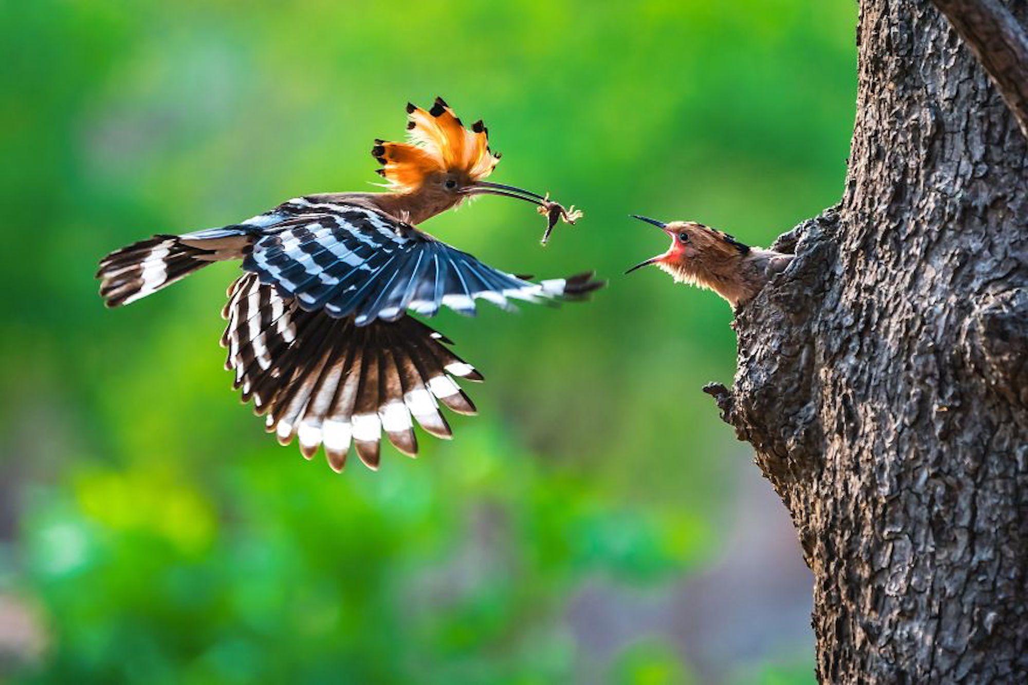 Momento perfeito para esta foto de um pássaro Hoopoe alimentando seus filhotes