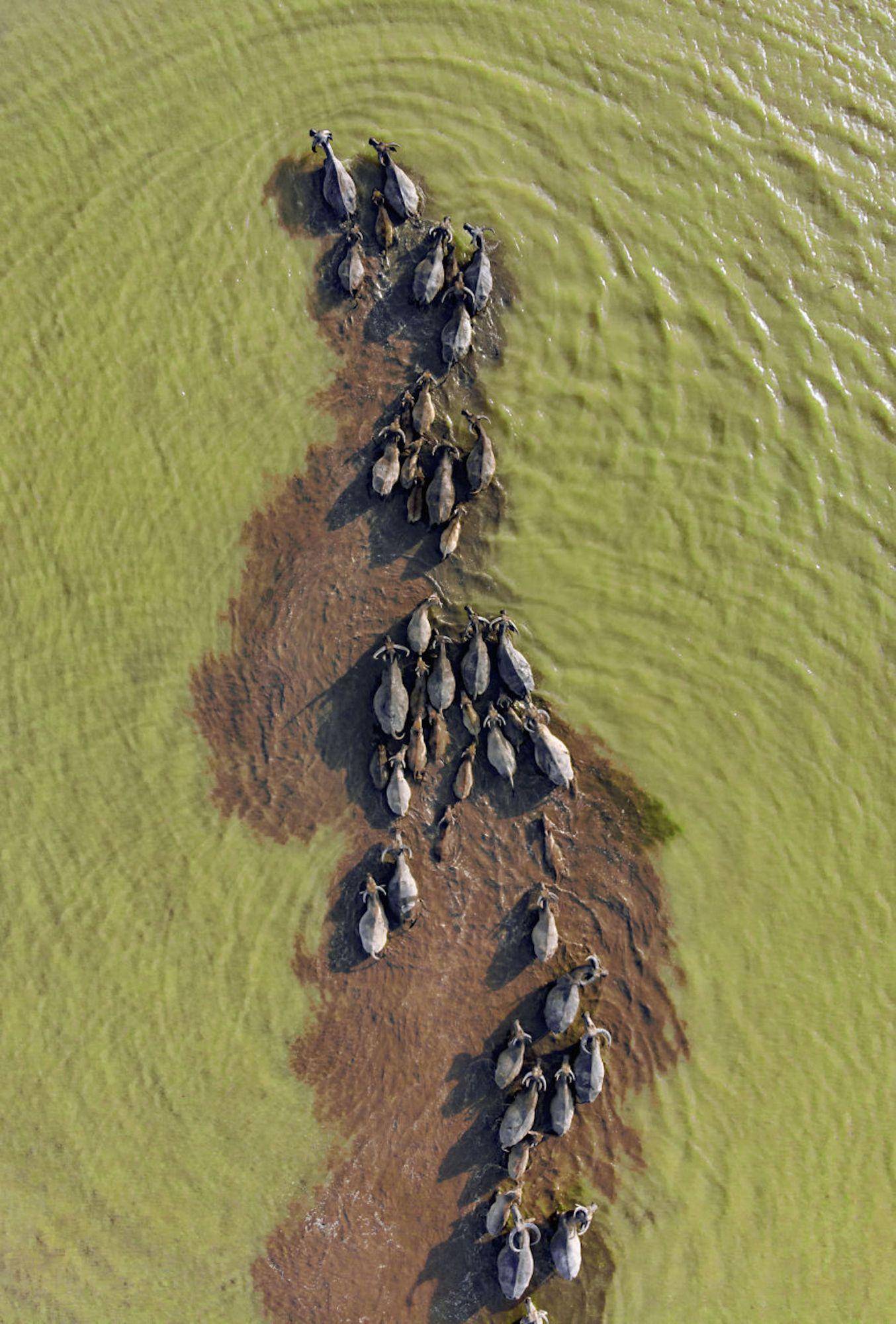 Búfalos dentro de água em Pleiku, no Vietnã